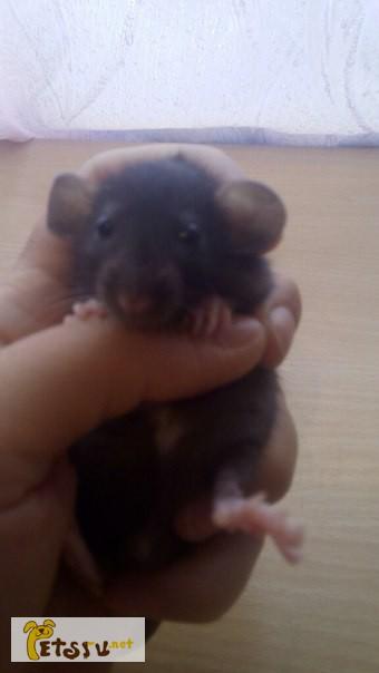 Фото 2/3. Дамбо крысята