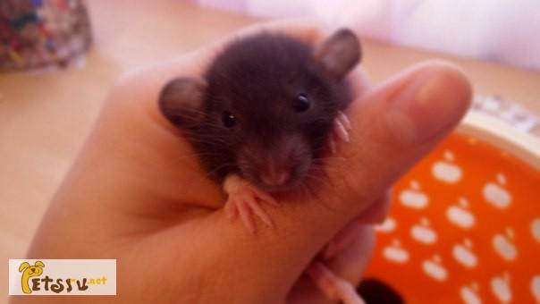 Фото 3/3. Дамбо крысята