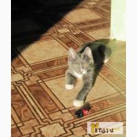 Серый котенок в Барнауле