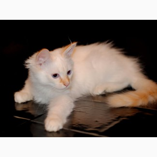 Сибирский котик редкого окраса