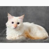 Невский Маскарадный котик, питомник Страна Чудес