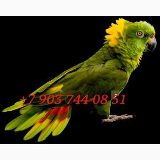 Желтошейный амазон (Amazona auropalliata) - ручные птенцы из питомников Европы