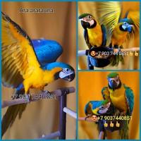 Птенцы выкормыши 4 мес. сине-жёлтый ара (ara ararauna) из питомника