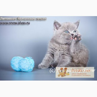 Голубые британские котята на продажу., Москва
