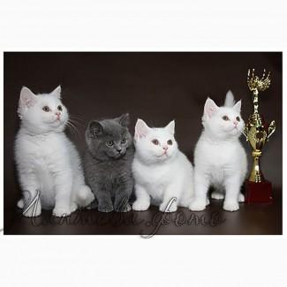 Британские короткошерстные котята питомник МИРАСИНЕЛЬ Mirasinel