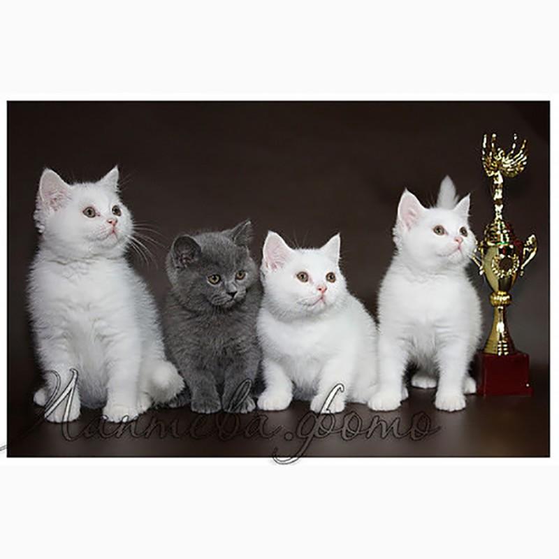 Фото 1/10. Британские короткошерстные котята питомник МИРАСИНЕЛЬ Mirasinel