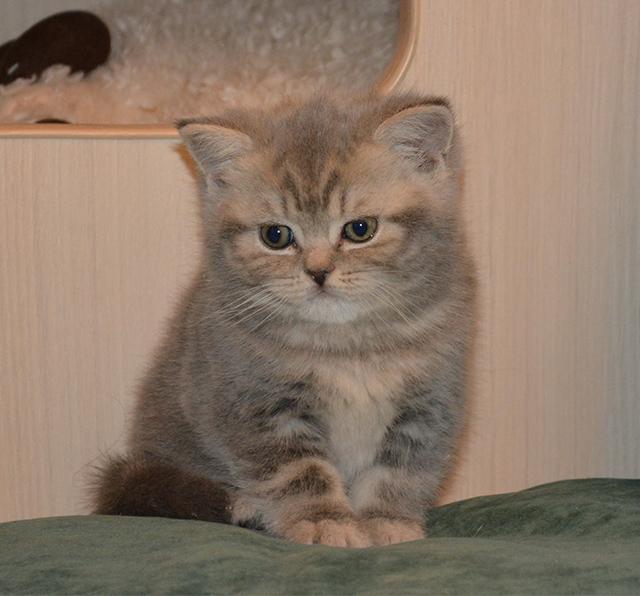 Фото 2/10. Британские короткошерстные котята питомник МИРАСИНЕЛЬ Mirasinel