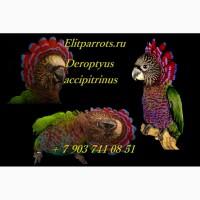 Веерный попугай (Deroptyus accipitrinus) - птенцы выкормыши из питомников Европы