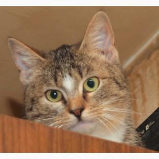 Шотландский котенок (метис) Чика, яркий браун табби с белым, 7 месяцев