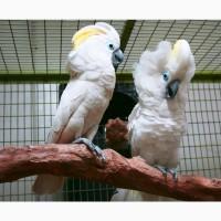 Синеочковый какаду (Cacatua ophthalmica) ручные птенцы из питомника