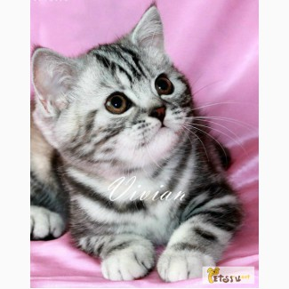 Британские котята черный мрамор на серебре из питомника