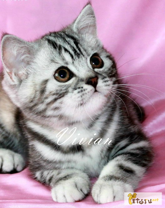 Фото 1/1. Британские котята черный мрамор на серебре из питомника