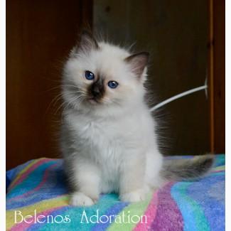 Продам котенка Священной Бирмы