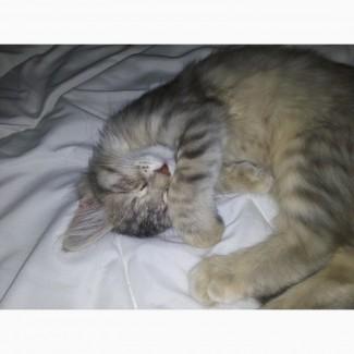 Сбирский котёнок девочка в дар