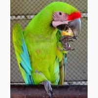 Ara ambigua - зеленый ара ручные птенцы из питомников Европы
