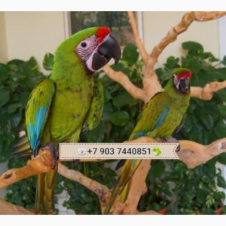 Солдатский ара (Ara militaris) - ручные птенцы из питомников Европы