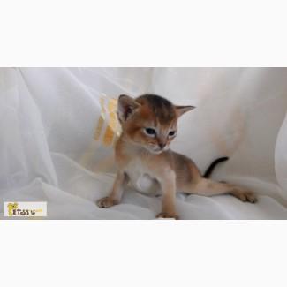 Абиссинские котята в Челябинске