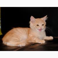 Сибирский котик с документами