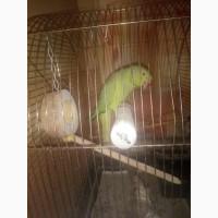 Ожерелловый попугай (взрослая самка)