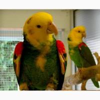 Желтоголовый амазон (Amazona ochrocephala magna) птенцы выкормыши из питомников Европы