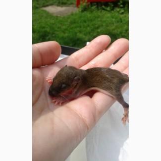 Крысята Пасюки от дикой серой крысы