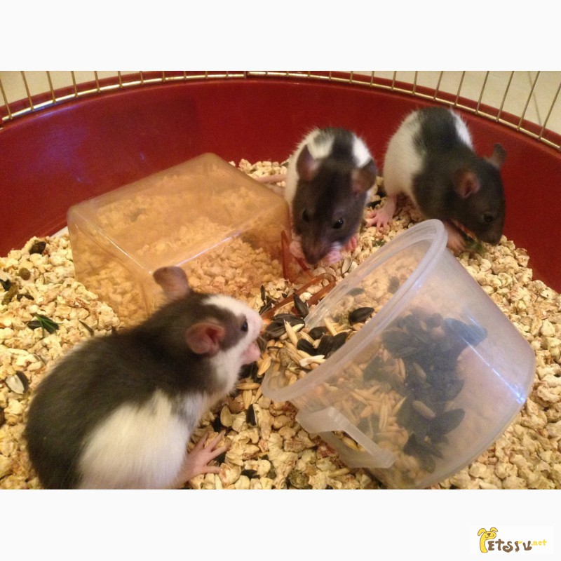 Фото 3/4. Отдам маленького крысю в добрые заботливые руки