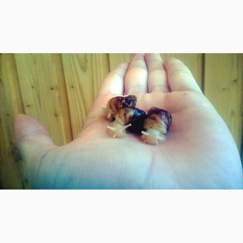 Фото 1/1. Улитки ахатины ретикулята альбино