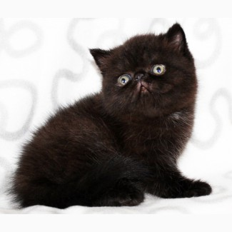 Экзотический чёрный котик