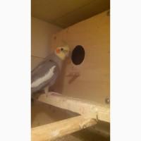 Продажа волнистых попугаев и корелл