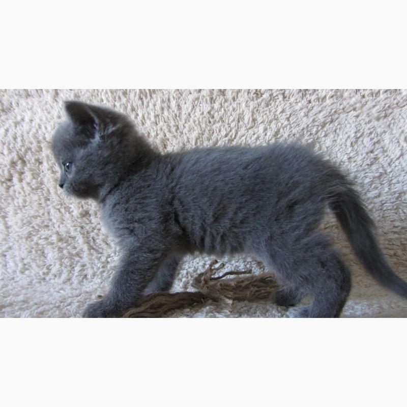 Фото 3/10. Плюшевый британский котенок