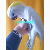 Птенцы выкормыши 5 мес. синеочкового какаду (cacatua ophthalmica) из питомника