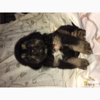 Продам щенков тибетского мастифа