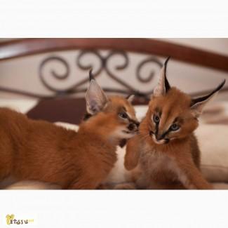 Ручной котенок Каракала