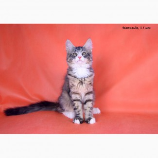 Норвежская лесная - настоящая кошка