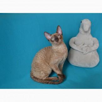 Роскошные котята Корниш рекса из профессионального питомника