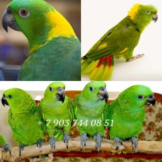 Amazona auropalliata - ручные птенцы из питомника