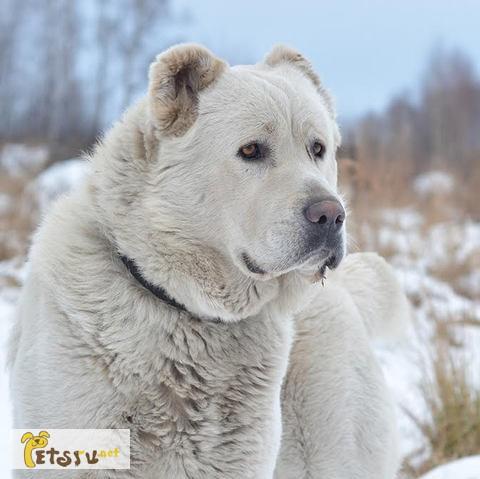 алабай белый фото взрослых собак также можете