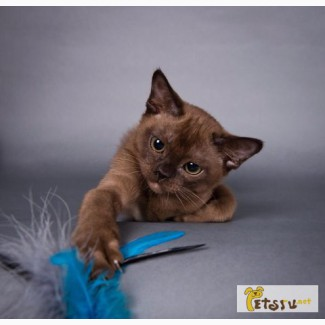 Питомник бурмы предлагает котят