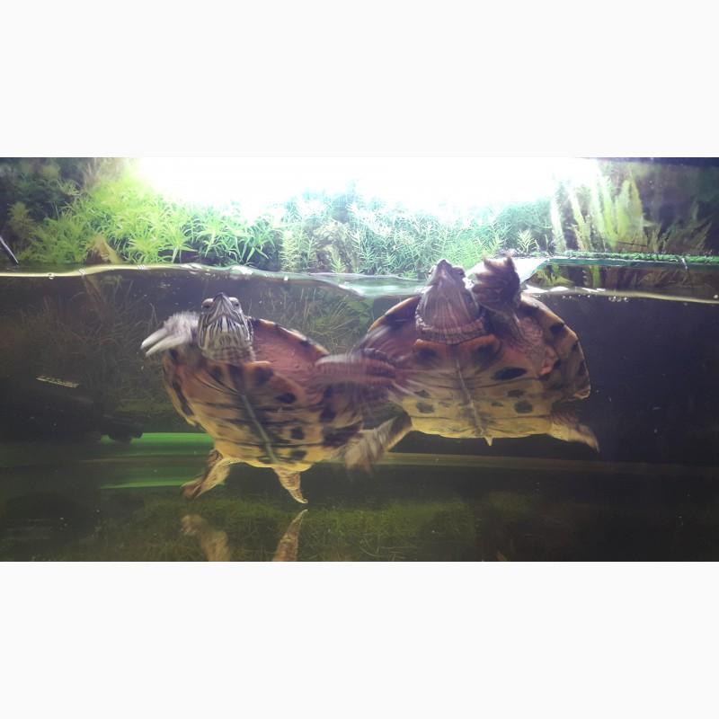 Фото 1/1. Красноухии черепахи