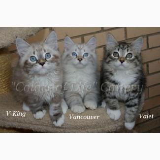 Невские маскарадные котята (Сибирский колор-поинт)