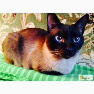 Сиамский кот в Санкт-Петербурге