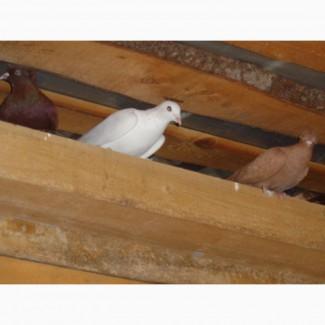 Воэьму в дар голубей бойных чубатых лохмоогих или куплю не дорого
