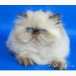 Персидский гималайский котенок
