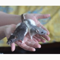Ручные крысята разного окраса и возраста