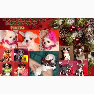 Чихуахуа продажа щенков-модный окрас, красота, здоровье