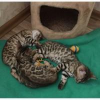 Бенгальские котята из питомника