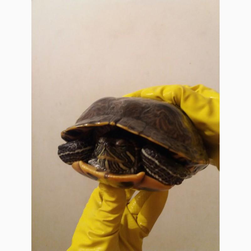Фото 1/4. Красноухая черепаха