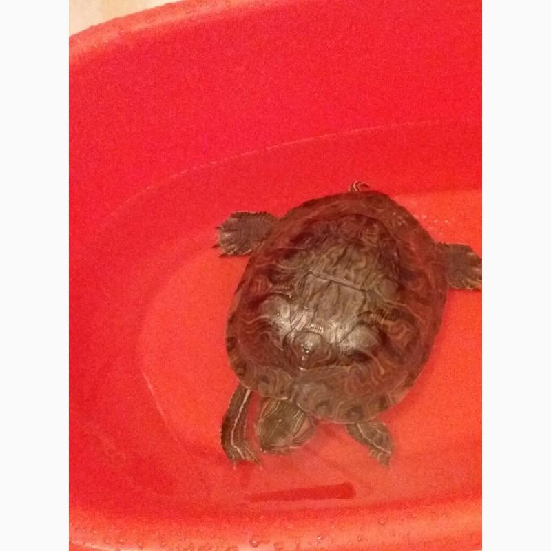 Фото 2/4. Красноухая черепаха