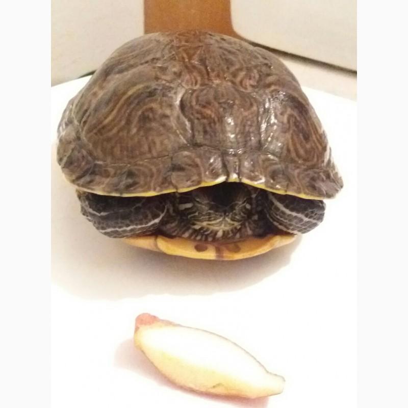 Фото 3/4. Красноухая черепаха