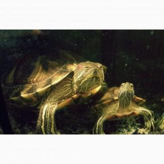 Отдам в дар 2 красноухих черепах с домиком